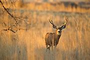 Mule deer (Odocoileus hemionus) buck at sunrise