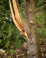 Tree damaged by Nor'easter. Image taken with a Nikon D5 camera and 80-400 mm VRII lens (ISO 100, 400 mm, f/5.6, 1/400 sec)