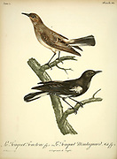 Traquet tractrac Emarginata tractrac - Tractrac Chat  and Traquet montagnard Myrmecocichla monticola - Mountain Wheatear from the Book Histoire naturelle des oiseaux d'Afrique [Natural History of birds of Africa] Volume 4, by Le Vaillant, Francois, 1753-1824; Publish in Paris by Chez J.J. Fuchs, libraire 1805