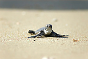 Israel, Maagan Michael beach, Chelonia mydas, green turtle after hatching on their first voyage to the Mediterranean Sea September