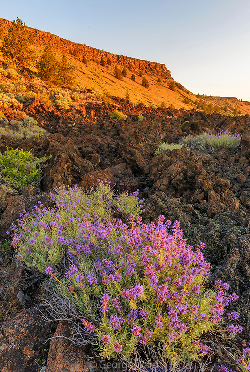 Purple Sage and Gillams Bluff at Sunrise, Lava Beds National Monument, California