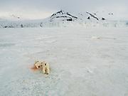 An aerial of a female polar bear (Ursus maritimus)nursing her cubs on the ice, Spitzbergen, Svalbard