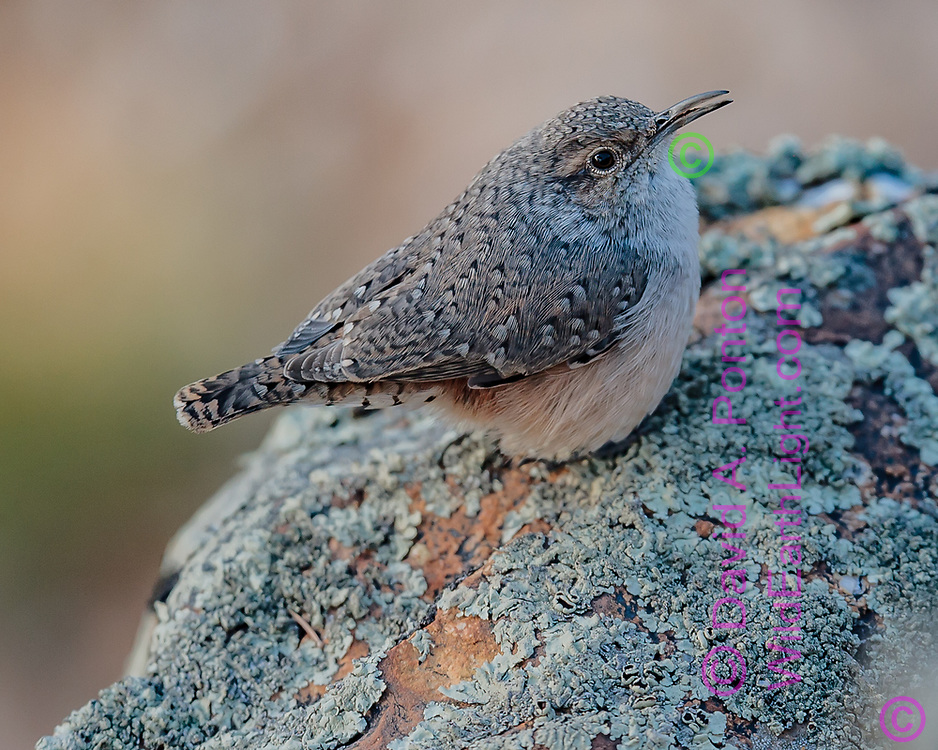 Rock wren on lichen covered rock on the south rim of the Grand Canyon, © David A. Ponton