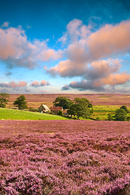 View of Danby Dale and and moors farm with heather flowering.  North Yorks National Park, North Yorkshire, England .<br /> <br /> Visit our MEDIEVAL PHOTO COLLECTIONS for more   photos  to download or buy as prints https://funkystock.photoshelter.com/gallery-collection/Medieval-Middle-Ages-Historic-Places-Arcaeological-Sites-Pictures-Images-of/C0000B5ZA54_WD0s
