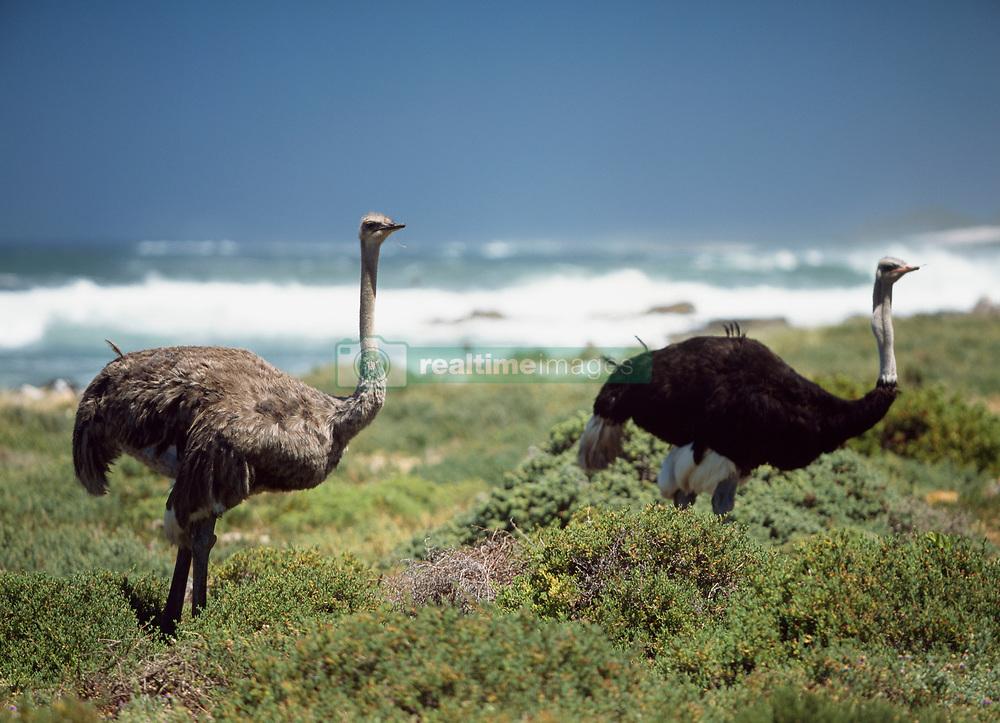 Ostriches beside the sea (Credit Image: © Axiom/ZUMApress.com)