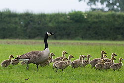 Windsor, UK. 29th May, 2018. Canada Geese (Branta canadensis) with broods of goslings in Windsor Great Park.