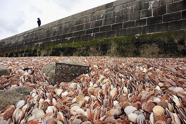 Frankrijk, Normandie, Port en Bessin, 12-5-2013Mens en natuur maken samen een kunstwerk. Jacobsschelpen vormen prachtige patronen langs de pier van Port en Bessin. Restauranthouders uit dit vissersplaatsje gooien hun lege schelpen vanaf de pier in het water. Door de stroming, het getij en de golfslag maakt de zee er vervolgens een waar kunstwerk van. De vele duizenden schelpen liggen strak tegen elkaar aan, en vormen waaiers die zich ook sierlijk om obstakels zoals stenen krullen. Bij laagwater, eb, wordt het schelpenbed zichtbaar.Foto: Flip Franssen/Hollandse Hoogte