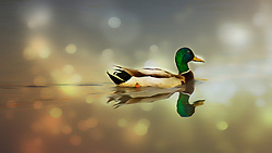 A Mallard Duck Swims Through Magical Lights On The Waters With Grace and Beaurty