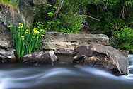 An invasive Yellow Flag Iris (Iris pseudacorus) growing by the Millstone River at Bowen Park in Nanaimo, British Columbia, Canada
