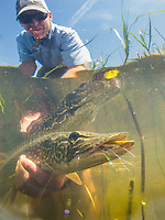 underwater photograph of a northern pike, lake champlain