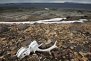 Bones in Arctic summer landscape, Svalbard, Norway