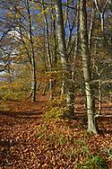 Autumn Beech, Fagus sylvatica, on woodland boundary, Stoke Wood, Oxfordshire.