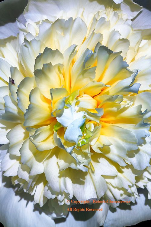 The dramatic display of a white and yellow flower in full bloom, Chilliwack British Columbia, Canada.