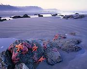 Sea Stars and Beach, Olympic National Park, Washington
