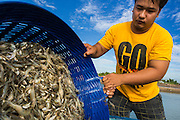 14 MAY 2013 - BANGTATHEN, SAPHUNBURI, THAILAND:    A man dumps baskets of shrimp into a water tank on the back of his pickup truck in Saphunburi province Thailand. Early mortality syndrome, better known as EMS -- or Acute Hepatopancreatic Necrosis Syndrome, (AHPNS) as scientist refer to it -- has wiped out millions of shrimp in  Thailand, the leading shrimp exporter in the world. EMS first surfaced in 2009 in China, where farmers noticed that their prawns had begun dying en-masse, without any identifiable cause. By 2011, shrimp farms in China's Hainan, Guangdong, Fujian and Guangxi provinces were suffering losses as great as 80%. Farmers named the disease based on its immediate effect - Early Mortality Syndrome. After China, EMS devastated shrimp farms in Vietnam and Malaysia. The province of Tra Vinh, Vietnam, saw 330 million shrimp die in the month of June 2011 alone. In Malaysia, where EMS first emerged in 2010, commercial prawn production declined by 42%. EMS hit Thailand in early 2013. As a result of early die offs in Thailand many farmers left their shrimp ponds empty and stores that sell shrimp farm supplies have reported up to 80% drop in business as shrimp farm owners have cut back on buying.      PHOTO BY JACK KURTZ