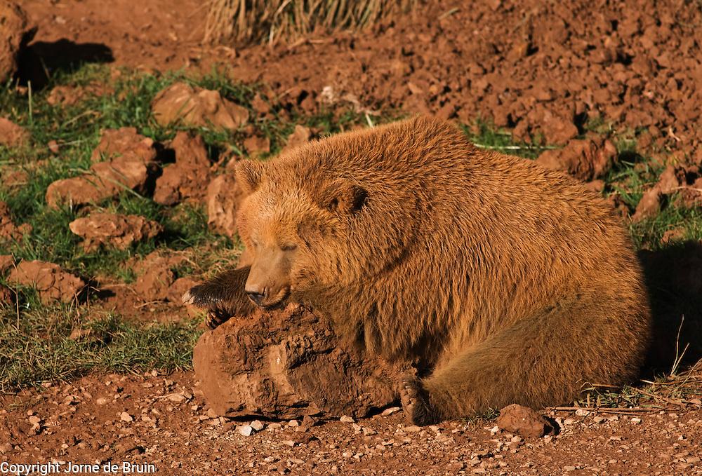 A brown bear cub is enjoying the sun lying on a rock in the Wildlife Park of Cabárceno in Spain.