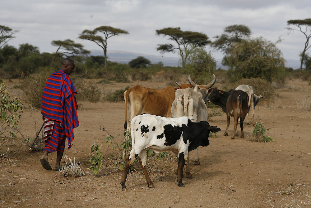 TANZANIA. Longido Mountain Area..August 3rd 2009..A Maasai man and his herd..
