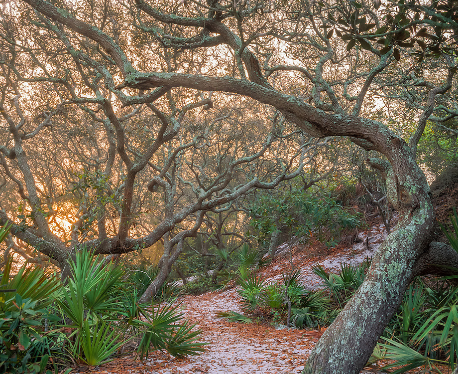 Live Oak trees & palmettos in shady hummock, Grayton Beach State Park, FL
