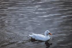 THEMENBILD - eine weisse Ente am Zeller See, aufgenommen am 09. Maerz 2021 in Zell am See, Österreich // a white duck at the Lake Zell, Zell am See, Austria on 2021/03/09. EXPA Pictures © 2021, PhotoCredit: EXPA/ JFK