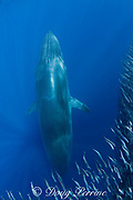 Bryde's whale, Balaenoptera brydei or Balaenoptera edeni, rises up through mixed baitball of sardines and Pacific chub mackerel or green mackerel Scomber japonicus, off Baja California, Mexico ( Eastern Pacific Ocean )