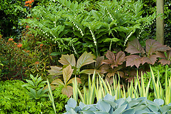 Contrasting foliage shapes and colours in a border at Eastgrove Cottage. Hosta 'Halcyon', Rodgersia podophylla, Iris pseudacorus 'Variegata', Euphorbia griffithii 'Dixter' and Polygonatum hybridum syn. P. multiflorum ( Solomon's seal )