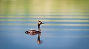 An male eared grebe in mating plumage swims in Grape Creek near the head of Lake DeWeese, near Westcliffe, Colo.