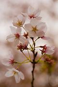 Cherry blossom tree flowers, Washington, DC