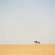 Camel and baby camel, Sahara Desert, Libya