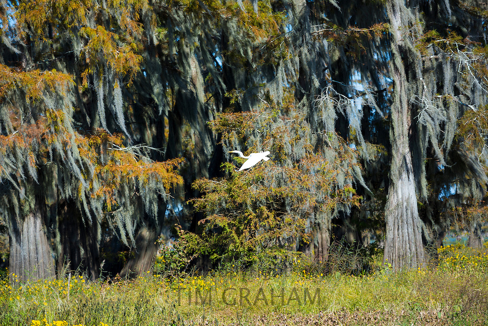 Large Egret flying by Bald cypress trees Taxodium distichum, covered with Spanish Moss, Atchafalaya Swamp, Louisiana USA