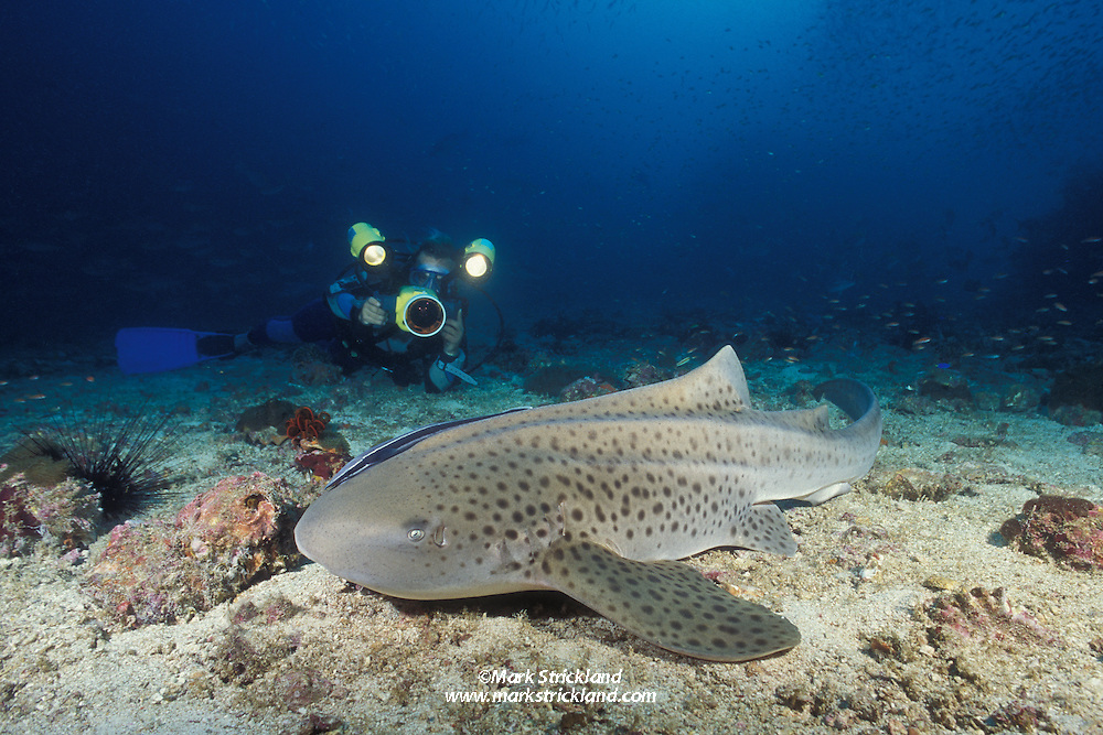 Docile and approachable, the Zebra Shark, Stegostoma fasciatum, is a favorite with underwater photographers.  Mergui Archipelago, Burma/Myanmar, Andaman Sea