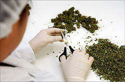 ROTTERDAM, NETHERLANDS - SEPT-10-2003 - A technician trims harvested marijuana plants at the S.I.M.M. growing facility, in Rotterdam. S.I.M.M., co-founded by James Burton, is one of the official Cannabis growers for the Dutch government. The Netherlands has legalized cannabis for medical use and has made the drug available at local pharmacies with a doctors prescription. The government has enlisted official growers so the quality and potency can be strictly monitored. Patients suffering from diseases such as Multiple Sclerosis, Cancer, AIDS, and Glaucoma, to name a few, can obtain a doctors prescription for the drug. (Photo © Jock Fistick)
