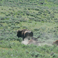 An American Bison (Bison bison) rolls in a dust wallow  in Yellowstone National Park, Wyoming.