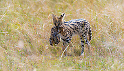 Mother serval cat (Leptailurus serval) carrying her cub through the long grass of the savanna in Maasai Mara, Kenya.