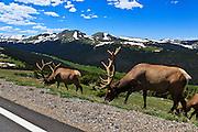 USA, Colorado, Rocky Mountain National Park,bull elk (Cervus elaphus canadensis) feed along Trail Ridge Road.