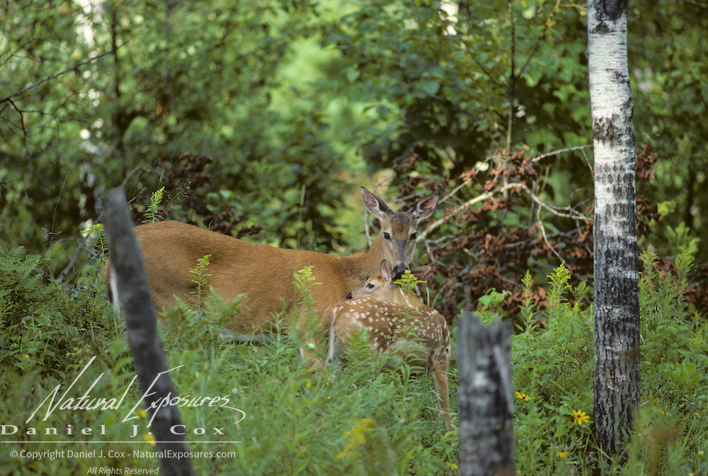 Whitetail Deer (Odocoileus virginianus) spring fawn and doe grooming each other in a forest.