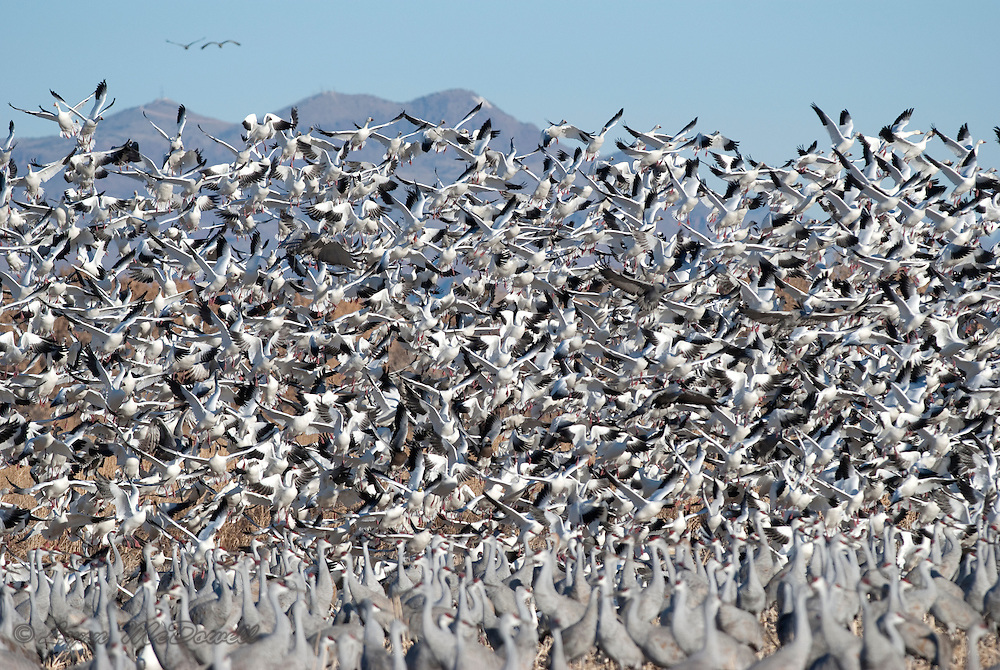 When the coyotes came hunting into the field as the birds were feeding, the Snow Geese took off with all the Sandhill Cranes looking for the danger