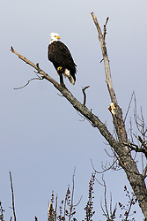 05 June 2005:   The bald eagle is a bird of prey found in North America. A sea eagle, it has two known sub-species and forms a species pair with the white-tailed eagle.