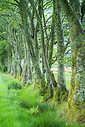 Row of deciduous beech trees, Fagus, grass and ferns in Scotland