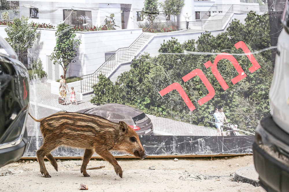 """A wild boar piglet passes by a """"SOLD"""" sign of a housing project in Haifa, Israel, April 09, 2021. Several neighborhoods in the northern Israeli city are being visited by families of wild boars. Many of the animals felt safer to come out of the Carmel woods surrounding the city in search for food, as most people were confined to their homes due to covid-19 lockdowns. As Israel slowly returned to normal life, following a large scale vaccination operation, human and animal encounters became more and more common."""