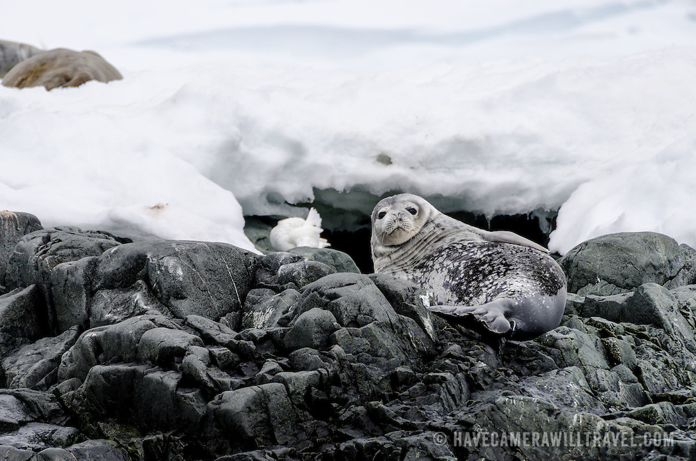 A juvenile Weddell seal rests on rocks on the shoreline at Hydrurga Rocks on Two Hummock Island on the western side of the Antarctic Peninsula. In the background at top left a couple of other Weddell seals lie on the snow.