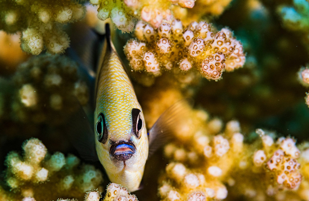 A two-stripe damselfish (Dascyllus reticulatus) also known as the reticulate dascyllus hides in hard coral near Flores, Indonesia.