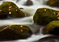 An intimate shot of freshly fallen leaves on moss covered rocks in a Vermont stream, near Marshfield.