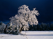 Rime ice and snow coating oak in meadow above the Mogollon Rim, Sitgreaves National Forest, Arizona.