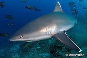 silvertip shark, Carcharhinus albimarginatus, Shark Reef Marine Reserve, Beqa Passage, Viti Levu, Fiji ( South Pacific Ocean )