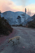 A dog is seen near a wildfire in Lytle Creek, Calif., Tuesday, Aug. 16, 2016. AFP PHOTO / Ringo Chiu