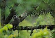 Phayer's Leaf monkey, Trachypithecus phayrei, Gaoligongshan NP, Yunnan province, China