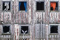 Krykkjer (Rissa tridactyla) har søkt tilflukt i nedlagt sjøbu i Vardø, Finnmark.<br /> <br /> Black-legged Kittiwake (Rissa tridactyla) landing on an old building in Finnmark, Norway. April.