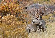 Buck Mule Deer relaxing in the fall foliage