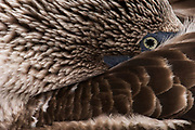 Blue-footed booby (Sula nebouxii excisa)<br /> Española or Hood Island Island<br /> Galapagos Islands<br /> ECUADOR.  South America<br /> By far the least common of the three booby species in Galapagos but the Blue-footed boobies are the most commanly seen as their small colonies are spread throughout the archipelago. They nest close to shore on flat areas. The nests are relatively closely spaced, but consist of nothing more than a shallow scrape in the ground. They have less than an annual breeding cycle and different colonies can be found breeding around the archipelago throughout the year. Their courtship antics are entertaining. In trying to attract a mate the male actually dances. If a female is attracted to him she will join him and together they will dance the 'booby two step'. Sexes are differentiated by the eyes. Males appear to have smaller pupils than females. (females have a darkly stained iris giving the impression of a larger pupil) The female is also larger and her voice is distinct - a honk while the male whistles. They are inshore feeders and are able to dive in shallow water. As they feed close to shore it is feasible for the parent birds to return with food sufficient for three chicks so in a good year they may raise up to three.