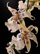 Miltassia orchid, a bigeneric genus from Miltonia and Brassia, blooming at Fred and Randi Hirschmann's home, Wasilla, Alaska.